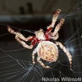 Australian garden orb-weaving spider