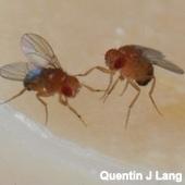 Male Drosophila melanogaster fighting