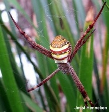 Does diet influence web-based pheromones in Argiope?